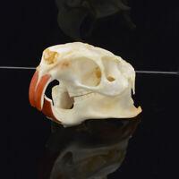 1pcs Myocastor coypus Coypu skull real bone skeleton biology taxidermy
