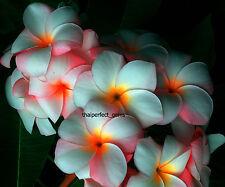 "Plumeria/Plants/Flowers/"" OrandePaw""/Fresh 200 seeds!"