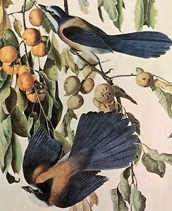 John James Audubon FLORIDA JAY Bird Original Vintage Art Book Plate
