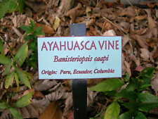 Banisteriopsis caapi- (Rare Red Strain) - Un-rooted Cutting