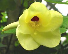 Bauhinia tomentosa, RARE YELLOW ORCHID TREE, Pot Tree, Landscape, Bonsai ~SEEDS~