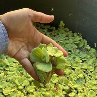 7 Dwarf Water Lettuce + Duckweed Aquatic Floating Live Aquarium Plant Fish Pond