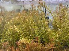 6+ Rotala Rotundifolia Live Aquarium Plant