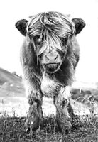 Highland Cow Calf Scottish Baby Nature Black & White Quality Canvas Print A3