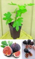 "Chicago Edible Fig Plant Tree Ficus Garden Hardy 2.5""Pot Outdoor Best Gift Yard"