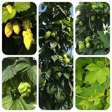 Hopfen Humulus lupulus Hops Heilpflanze Kletterpflanze 5-7m hoch Teepflanze