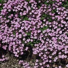 Tumbling Ted - Saponaria Ocymoides - Trailing plant - Appx 200 seeds