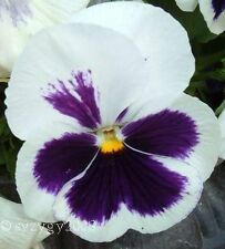WHITE & PURPLE PANSY VIOLA Violet Flower 10  Seeds.#SF - 834#