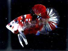 Pair Live Giant Betta Fish HMPK Koi 2.5 inch Thailand breeders