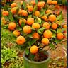 10 PCS Seeds Fruit Dwarf Orange Tree Bonsai Garden Kumquat Tangerine Citrus NEW