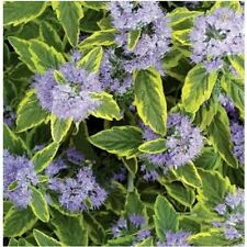 Caryopteris Summer Shrubs & Hedges