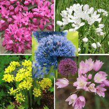 More details for allium mixed gardening beautiful spring summer flowers bulbs perennials plants