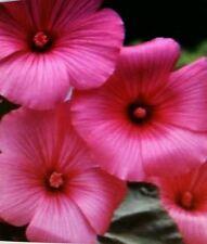 Rose Mallow Tanagra Flower Seeds