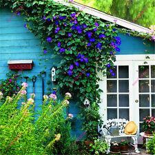 Morning Glory Seeds Rare Petunia Seeds Blue Flower Seeds Morning Glory Seed Home