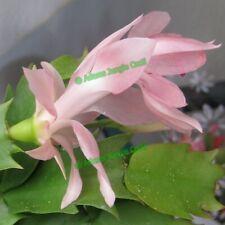 Christmas Cactus Zygocactus Cacti Succulent - Z28 Cutting (Will Combine Post!)