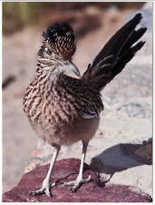 Postcard Greater Roadrunner NM State Bird at Death Valley Ntl Pk CA