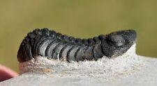 Trilobite Fossil, Boeckops skelcki, from Morocco #2