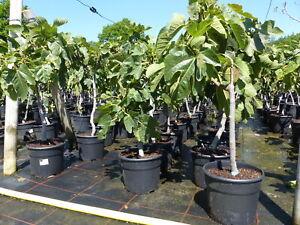 Feigenbaum kompakt 80-100 cm, Obstbaum, winterhart, Ficus Carica, Feige