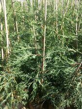 5 X TREES GREEN LEYLANDII HEDGING CONIFER PLANTS, 3-3.5 FOOT, 2 LT POT, HARDY