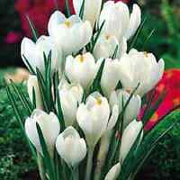 """50 X """"JOAN OF ARC CROCUS"""" SPRING FLOWERING CORMS/BULBS SIZE 7/8. EARLY ORDER."""