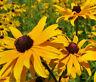 BLACK EYED SUSAN Rudbeckia Hirta - 10,000 Bulk Seeds