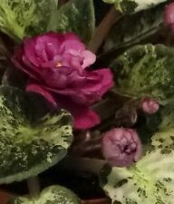 African violet Witch Doctor pair of leaves