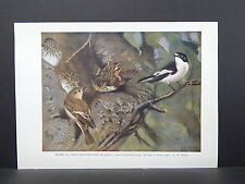 Birds British c 1930 Original Color Book Plate S5#090 Pied-Flycatcher