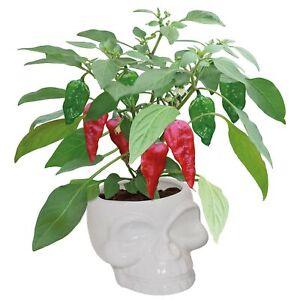 Dead Hot Chilli Ceramic Skull Planter Grow Your Own Plant Kit