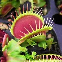 20 Pcs Dionaea Muscipula Venus Flytrap Carnivorous Plant Flower Seeds Home Dote