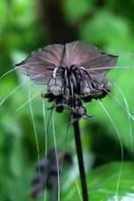 Usa Seller 25 Seeds Bat Flower Orchids Black Plant Garden Plant