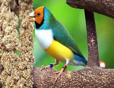 METAL FRIDGE MAGNET Gouldian Finch aka Lady Gouldian Finch Bird Birds