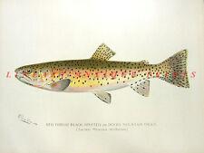 RAINBOW TROUT STEELHEAD ~ 1902 Sherman Denton GAME FISH Fisherman Art Print RARE