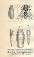 Stampa antica INSETTI Gastrophilus equi INSECTA 1891 Old antique print