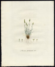 Antique Print-EARLY-YELLOW HAIRGRASS-AIRA PRAECOX-491-Flora Batava-Sepp-1800