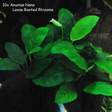 10x Anubias Barteri Nana Loose Rhizome Fresh Aquatic APF® Live Aquarium Plants