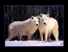 White Wolf Pair In Snow: 10x8 In. Wildlife Print