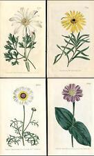 1804 Curtis Botanical Magazine Calendula, Zinnia etc, 4 Original Antique Prints