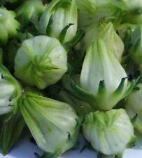Hibiscus sabdariffa Green Senegalese 5 seeds FREE SHIP