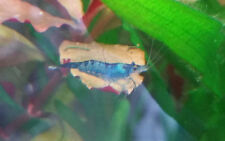 6 Dream Blue Velvet Shrimps Fresh Water Live Aquarium Round Pelia Xmas Moss