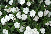 Impatiens Seeds 25 New Guinea Impatiens Divine White