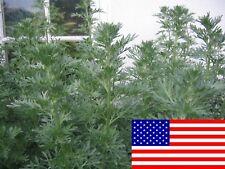 500 Artemisia Absinthium Seeds - Absinthe Wormwood - Medicinal Herb