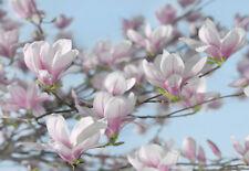 Papier peint photo 3,68 x 2,54 Magnolias branche fleurs blanc rose printemps