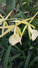 Orchid Fragrant Cattleya Brassovola Yellow Bird near spike Tropical Plant