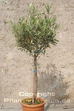 Olivenbaum 115 cm hoch Olea europaea Stamm