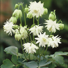 "30+ COLUMBINE ""LIME SORBET"" FLOWER SEEDS / AQUILEGIA / DEER - RABBIT RESISTANT"