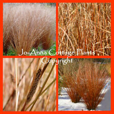 CAREX BUCHANII RED ROOSTER ORNAMENTAL GRASS NEW ZEALAND HAIR SEDGE IN A 9CM POT