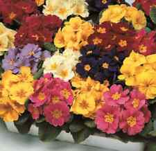 Primula Seeds 50 Primrose Seeds Primula Costume Mix FLOWER SEEDS