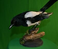 Stuffed Magpie Taxidermy Colored Bird