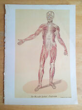Muscular System - Vintage antique Medical print 1916 anatomy body muscles skelet