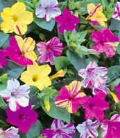 Seeds Mirabilis Marble Mix Flower Beautiful Annual Garden Organic Ukraine